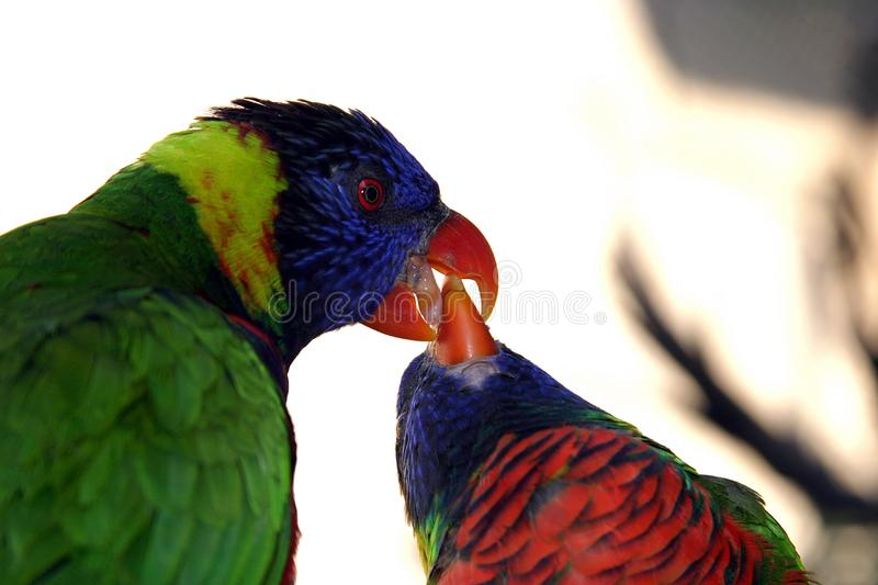 Colorful Green Parrot Feeding Another Parrot Close Up Imagen De Archivo Gratis