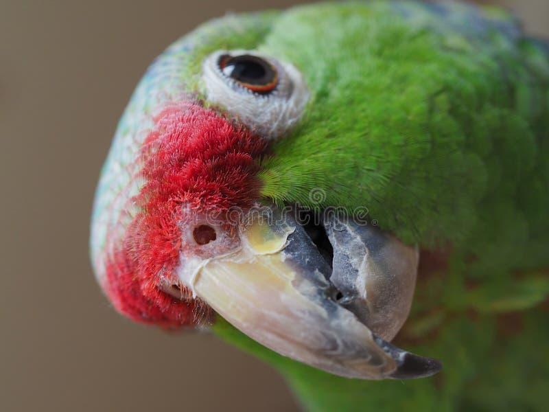 Loro verde divertido el Amazonas Ascendente cercano del retrato foto de archivo libre de regalías
