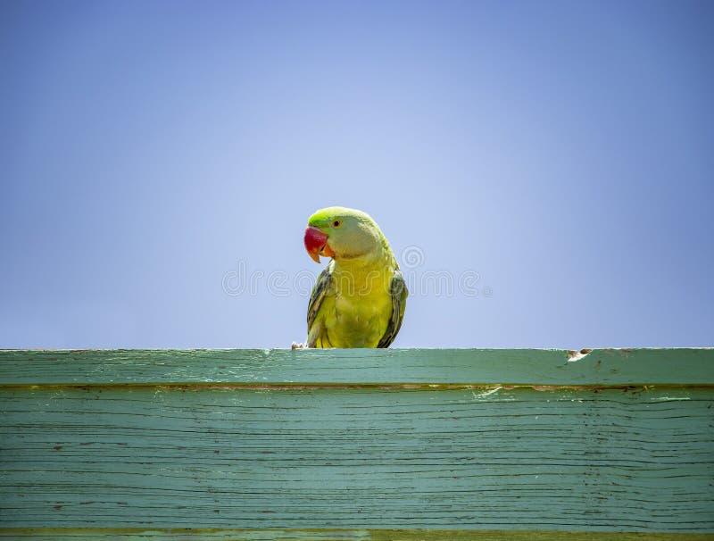 Loro verde que se sienta en una muestra de madera Detrás de él es el cielo azul Es un paraíso tropical con el tiempo del verano fotos de archivo libres de regalías