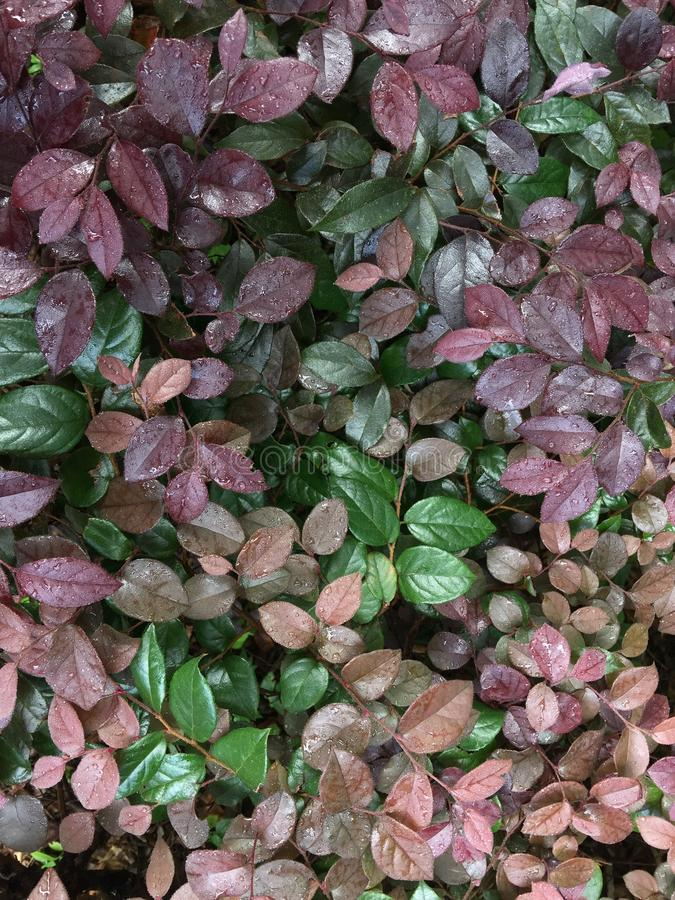 Loropetalum chinense var.rubrum. Evergreen shrubs or small trees. The bark is dark gray or light grayish brown with many branches. The twigs are reddish-brown royalty free stock photography