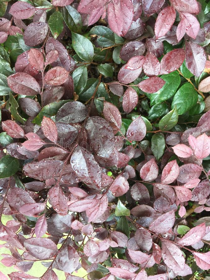 Loropetalum chinense var.rubrum. Evergreen shrubs or small trees. The bark is dark gray or light grayish brown with many branches. The twigs are reddish-brown royalty free stock image
