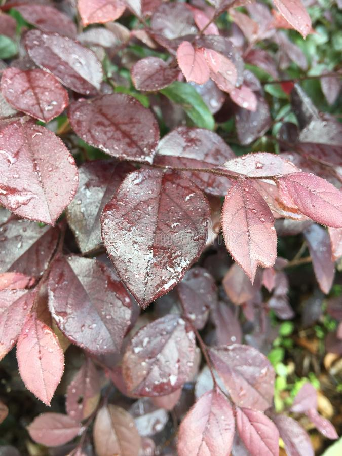 Loropetalum chinense var. rubrum. Evergreen shrubs or small trees. The bark is dark gray or light grayish brown with many branches. The twigs are reddish-brown royalty free stock photo
