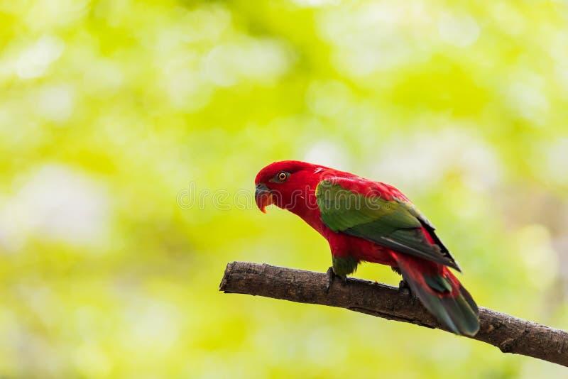 Loros coloridos hermosos de las cotorras rizadas de los pares en rama Pares coloridos del loro del amor imagenes de archivo