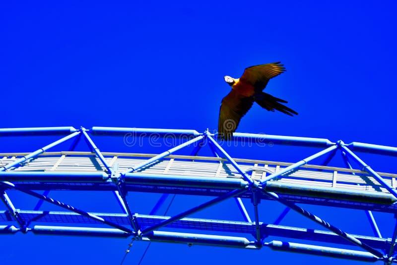 Loros ocolourful solitarios en vuelo imagen de archivo libre de regalías