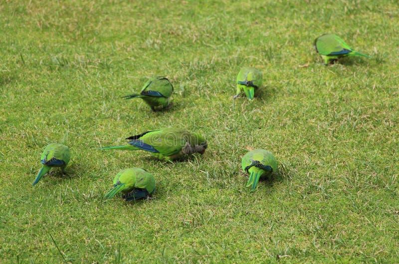 Loros verdes en la hierba en el parque de Madrid imagen de archivo libre de regalías