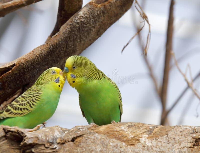 Loros verdes que se besan, adobe rgb imagen de archivo libre de regalías