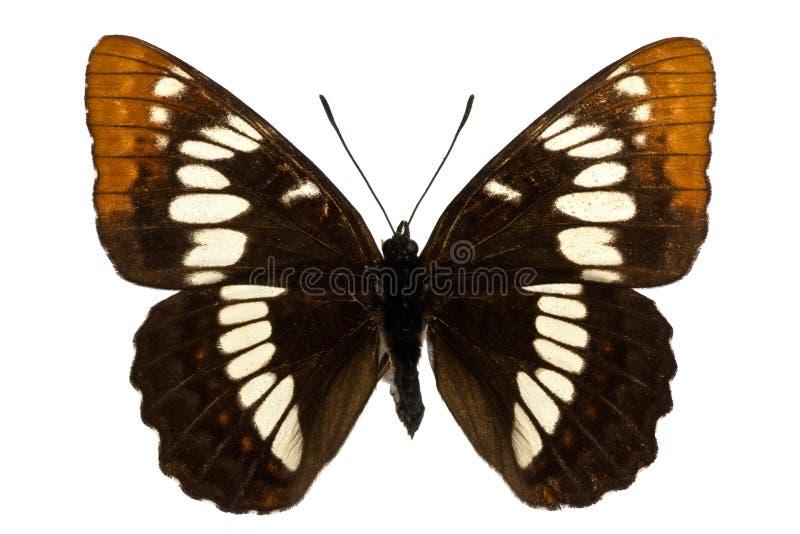 Lorquini van Limenitis royalty-vrije stock afbeelding