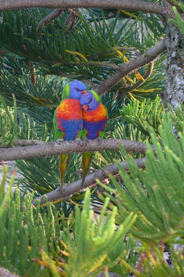 Lorrikeets insieme nel pino della Norfolk immagine stock