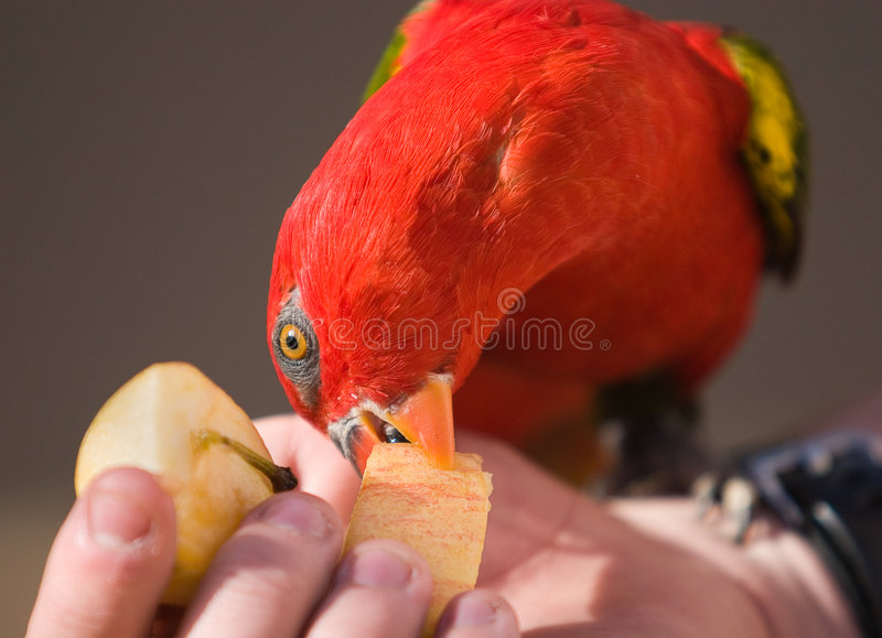 lory κόκκινο παπαγάλων στοκ φωτογραφία με δικαίωμα ελεύθερης χρήσης