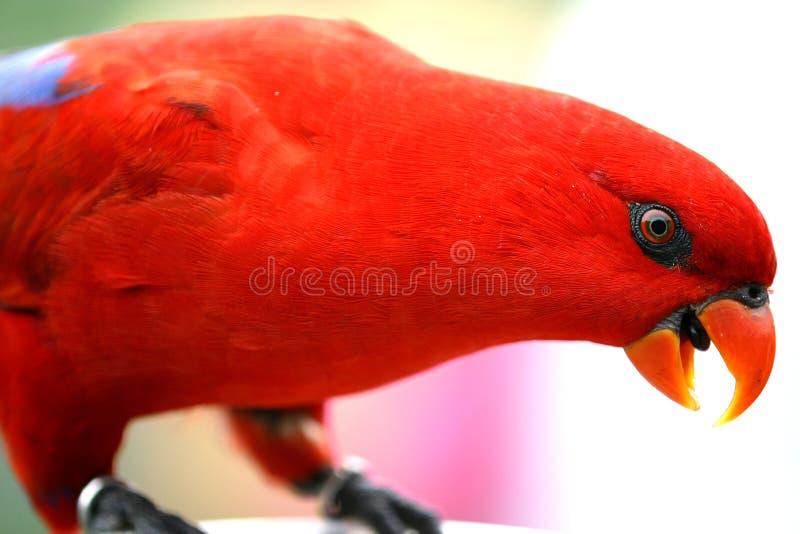 lory κόκκινο στοκ εικόνα με δικαίωμα ελεύθερης χρήσης