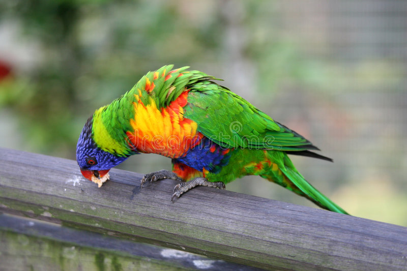 Lory royalty free stock images