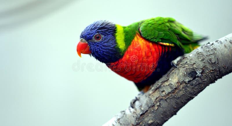 Lory del arco iris foto de archivo libre de regalías