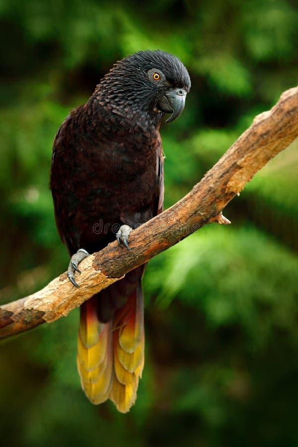 Lory noir, atra de Chalcopsitta, îles de Maluku, Nouvelle-Guinée, Indonésie Perroquet dans l'habitat de nature Lory se reposant s photographie stock libre de droits