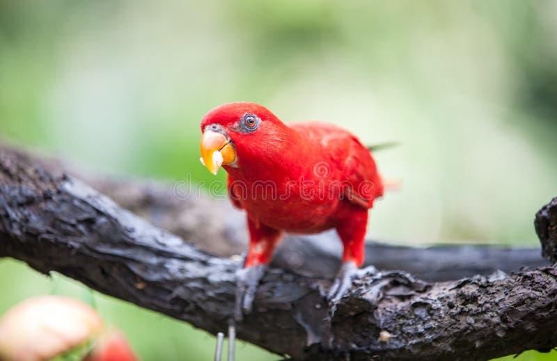 Lory rojo en el parque imagenes de archivo