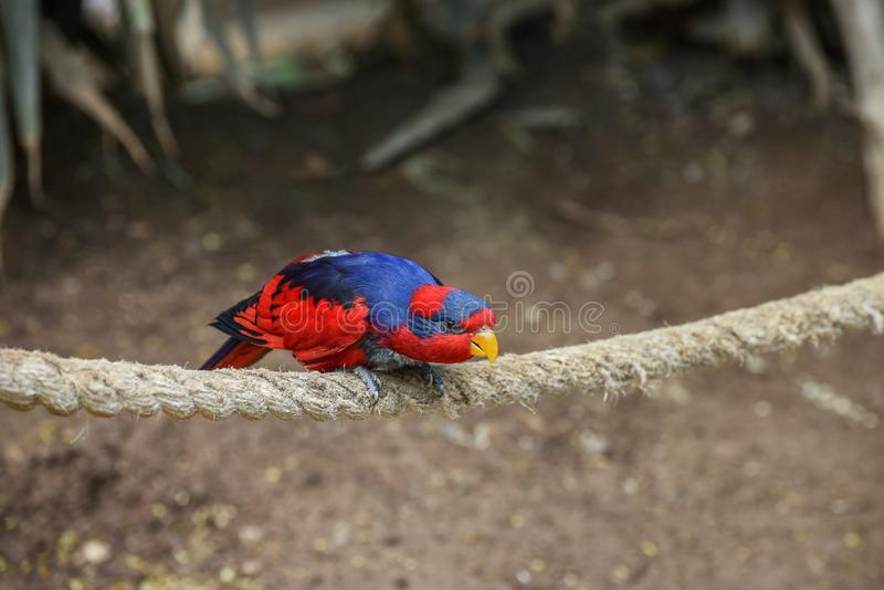 lory Rojo-y-azul, histrio del FOE, un loro pequeño, coloreado con la naranja brillante, pico corto, cabeza roja y nuca violeta de foto de archivo libre de regalías