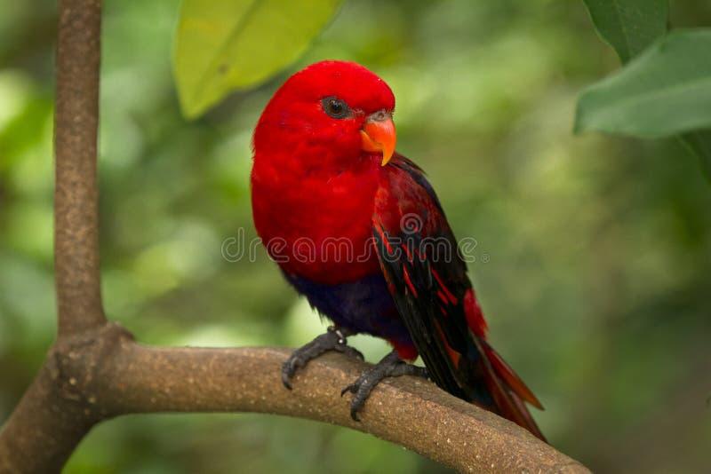 Lory vermelho imagem de stock royalty free