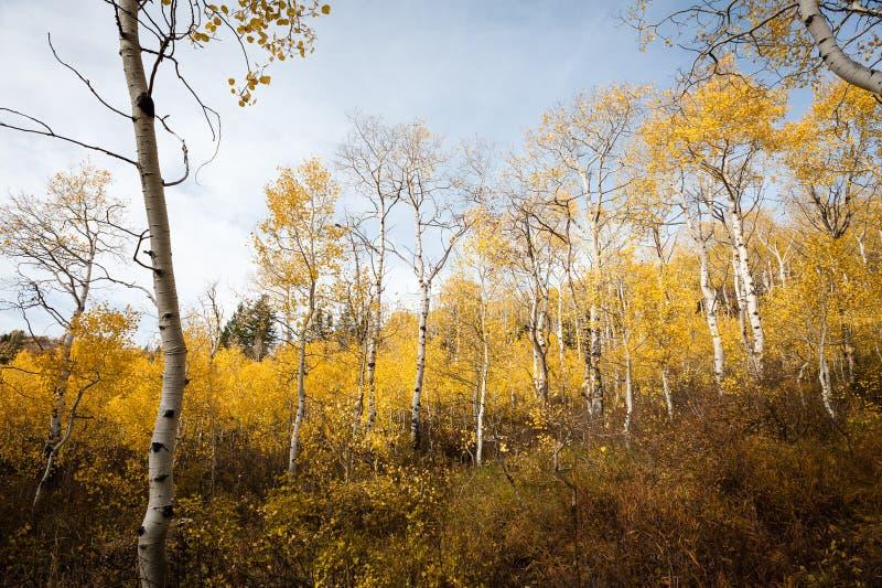 Los álamos tembloses de temblor exhiben colores oro del otoño en Utah foto de archivo