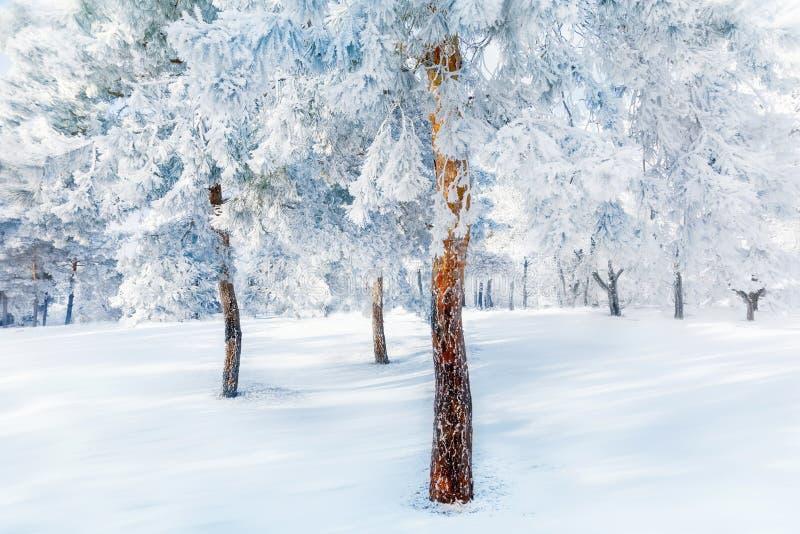 Los árboles blancos en la nieve y la helada en el invierno hermoso del bosque ajardinan fotos de archivo libres de regalías