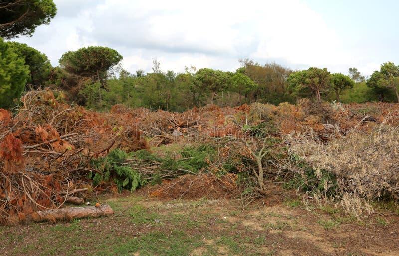 Los árboles cayeron después del paso del tornado potente foto de archivo