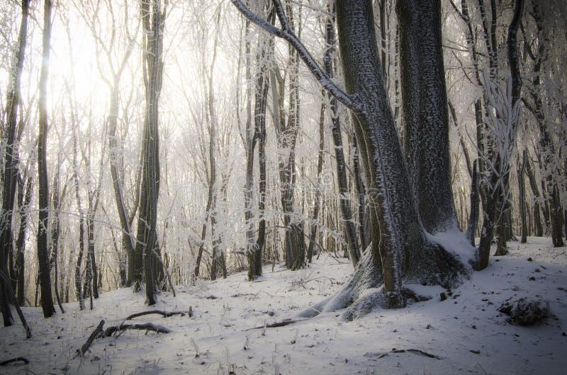 Los árboles congelados en bosque ganan invierno con el sol que brilla fotografía de archivo