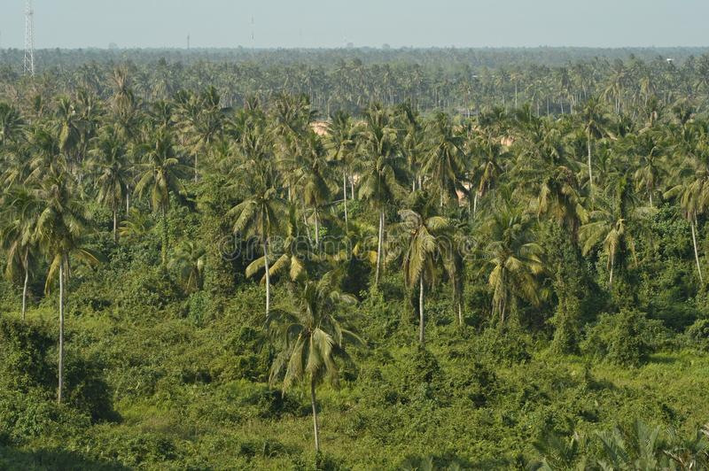 Los árboles de coco en Tailandia imagen de archivo libre de regalías