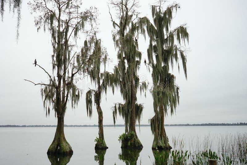 Los árboles de Cypress crecen en agua fotografía de archivo