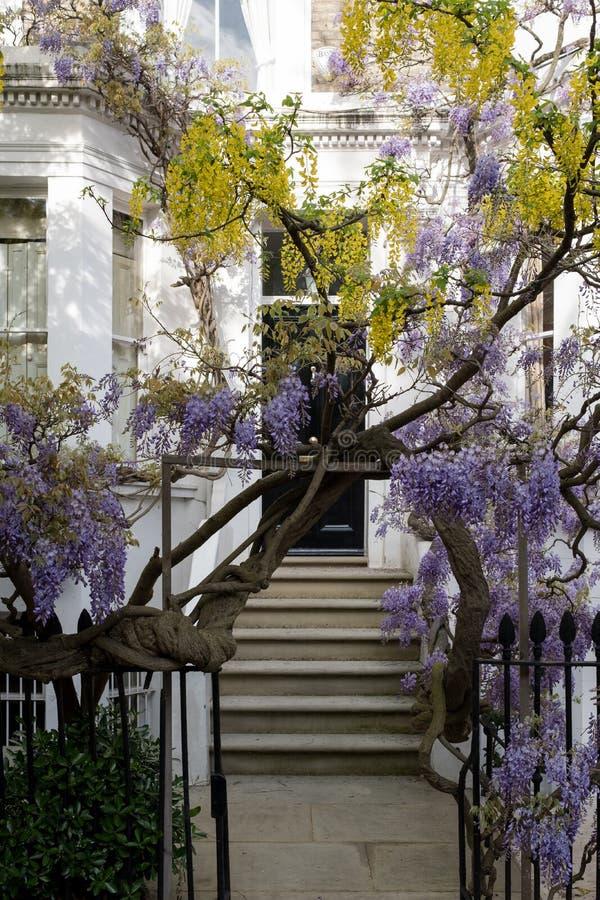 Los árboles de la glicinia y del codeso en la plena floración que crecía fuera de un blanco pintaron la casa en Kensington Londre fotografía de archivo libre de regalías