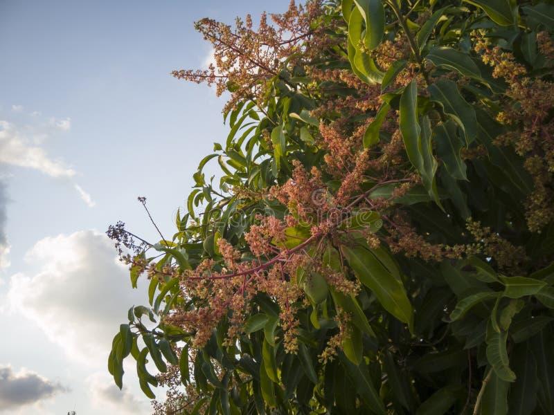 Los árboles de mango producen racimos de inflorescencia y de fruta fotografía de archivo libre de regalías