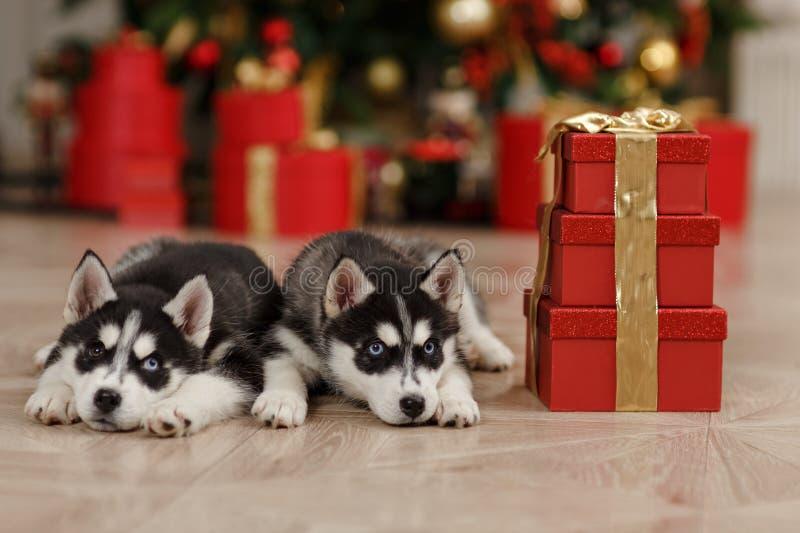 Los árboles de navidad blancos y negros de Husky Puppies están adentro imagen de archivo libre de regalías