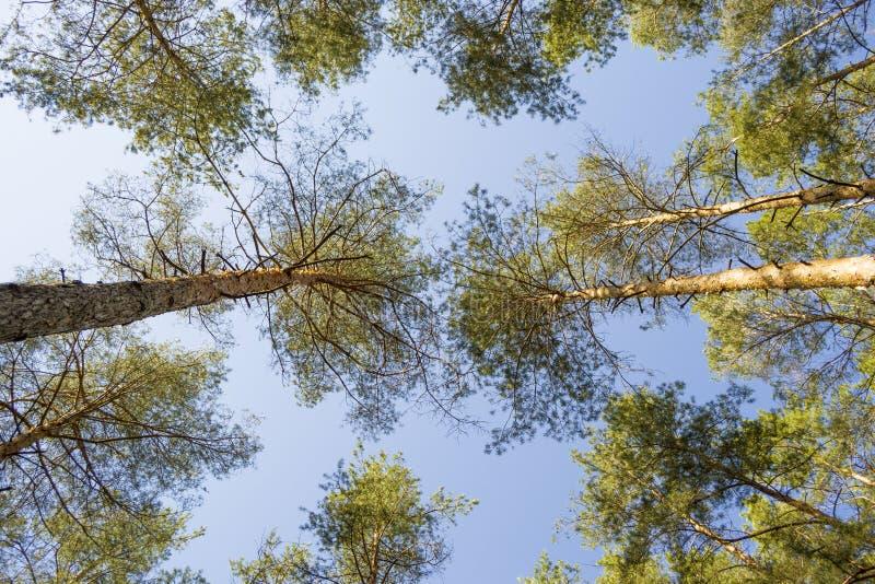 Los árboles de pino basan encima de la visión fotos de archivo