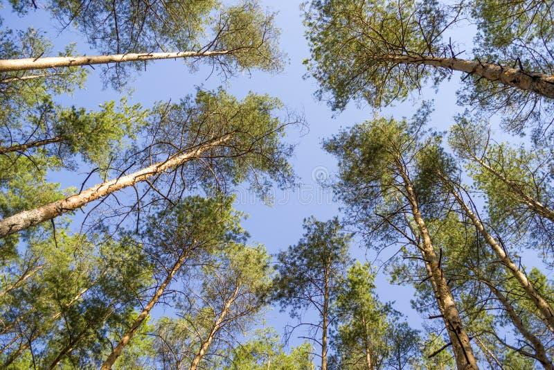 Los árboles de pino basan encima de la visión fotos de archivo libres de regalías