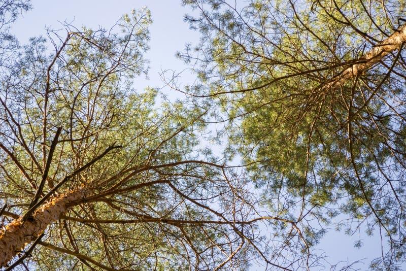 Los árboles de pino basan encima de la visión fotografía de archivo libre de regalías