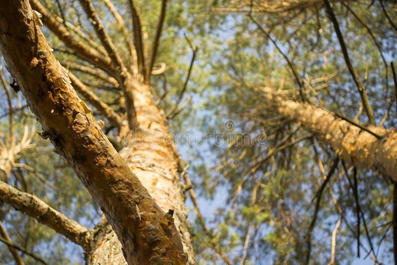 Los árboles de pino basan encima de la visión imagen de archivo