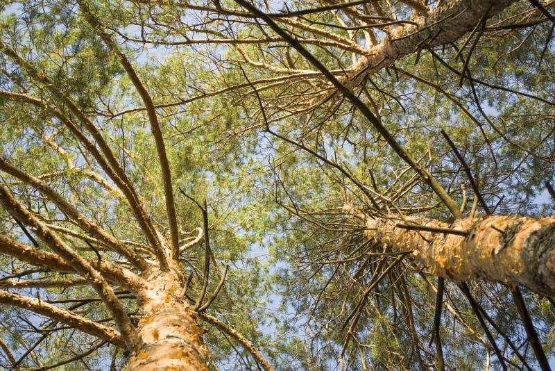 Los árboles de pino basan encima de la visión imágenes de archivo libres de regalías