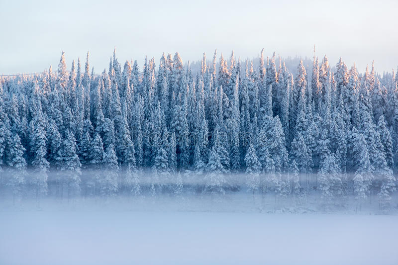 Los árboles de pino Nevado con niebla en un invierno ajardinan imagenes de archivo