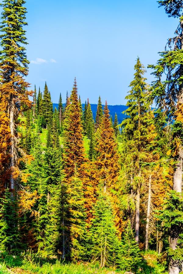 Los árboles de pino rojos, de muertes debido a los ataques del escarabajo del pino en Sun enarbolan en A.C. Canadá foto de archivo