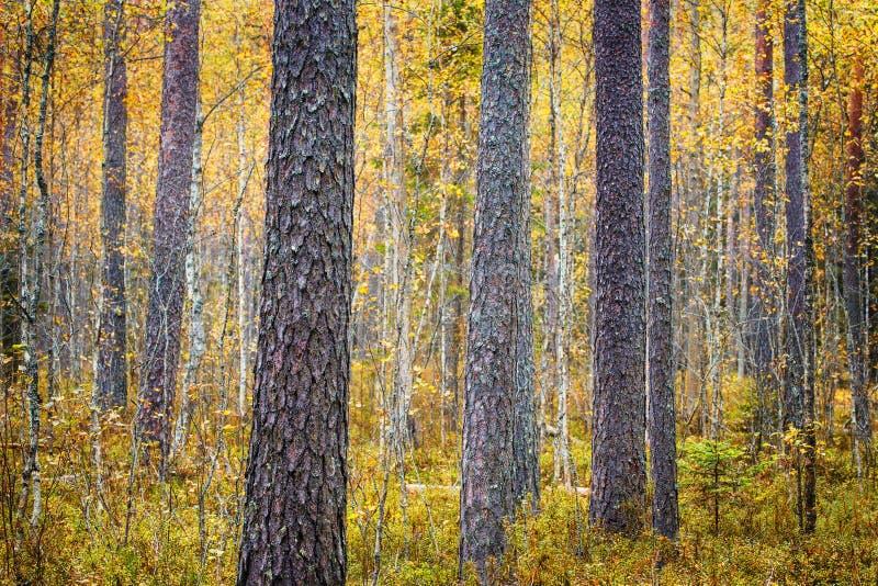 Los árboles de pino se mezclaron con concepto del foco del bosque de hojas caducas entonado fotos de archivo