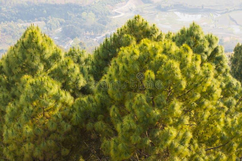 Los árboles de pino ven sobre el bandipur Nepal foto de archivo