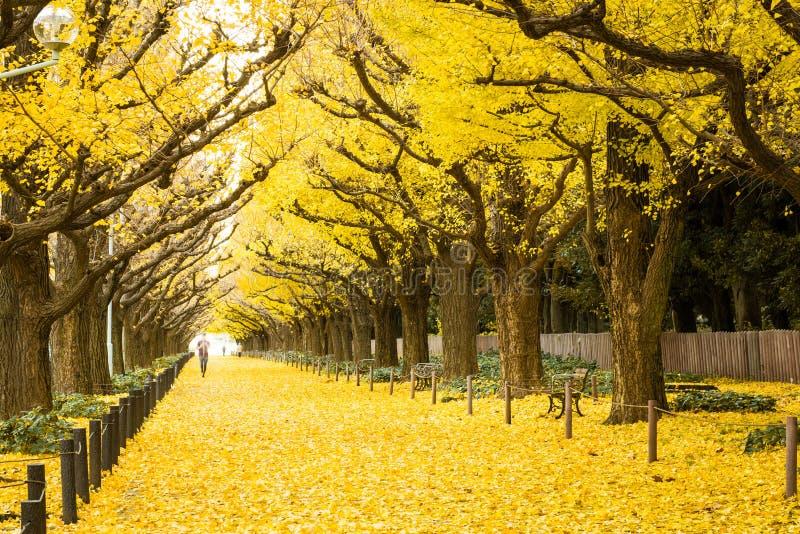 Los árboles del ginkgo del amarillo de la visita de la gente y el ginkgo amarillo se va en la avenida del Ginkgo foto de archivo libre de regalías