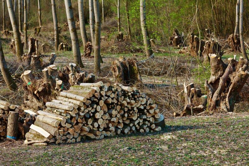 Los árboles en un bosque eran recut foto de archivo libre de regalías