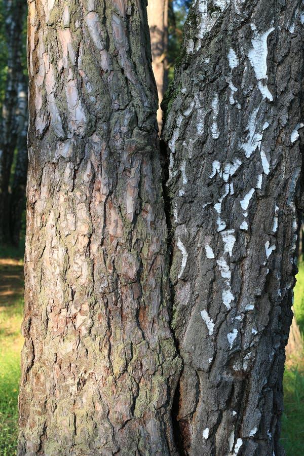 Los árboles han crecido juntos, pino y abedul fotos de archivo libres de regalías