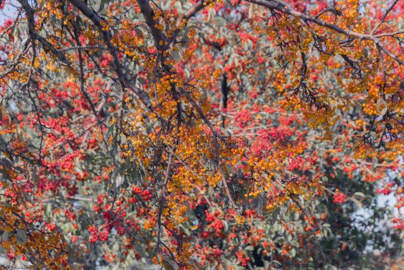 Los árboles llenaron a desbordar de las bayas anaranjadas y rojas minúsculas encendido foto de archivo