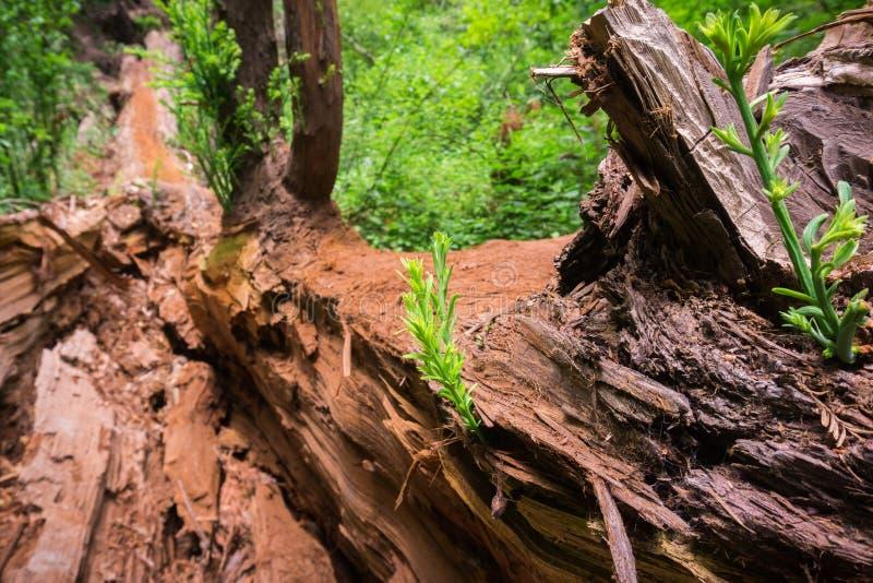 Los árboles minúsculos de la secoya brotan sempervirens de la secoya en el registro de un árbol viejo recientemente caido imagen de archivo