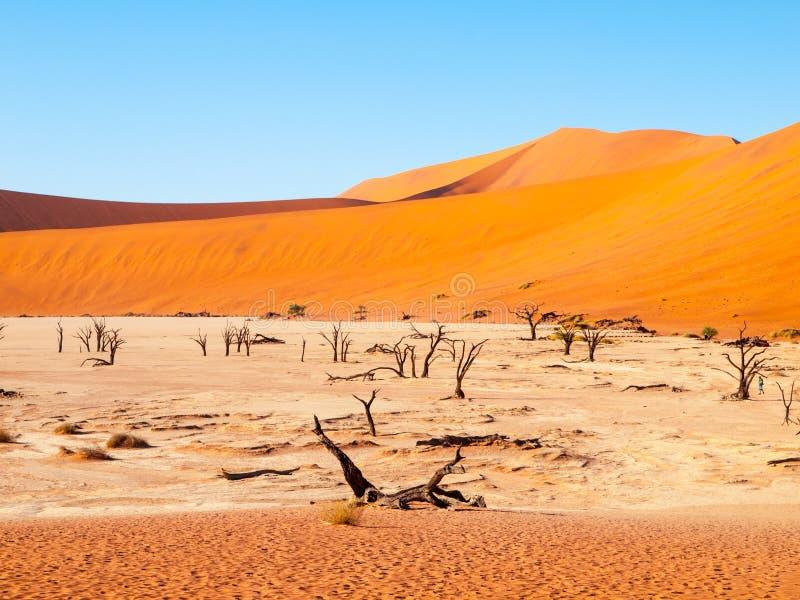 Los árboles muertos de la espina del camello en Deadvlei secan la cacerola en el medio de las dunas rojas del desierto de Namib,  imágenes de archivo libres de regalías