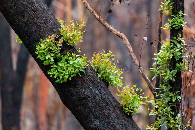 Los árboles se recuperan tras los incendios forestales en Australia imágenes de archivo libres de regalías