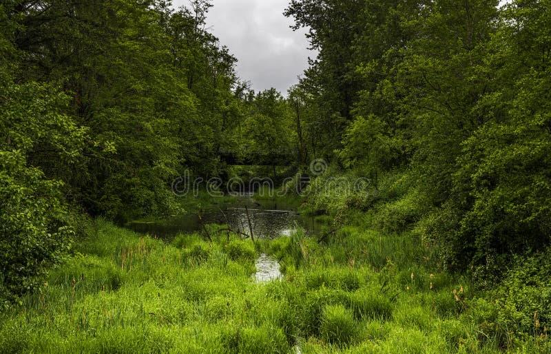 Los árboles verdes enormes, hierba, plantas rodean el pantano Gotas de agua y puente arriba fotos de archivo
