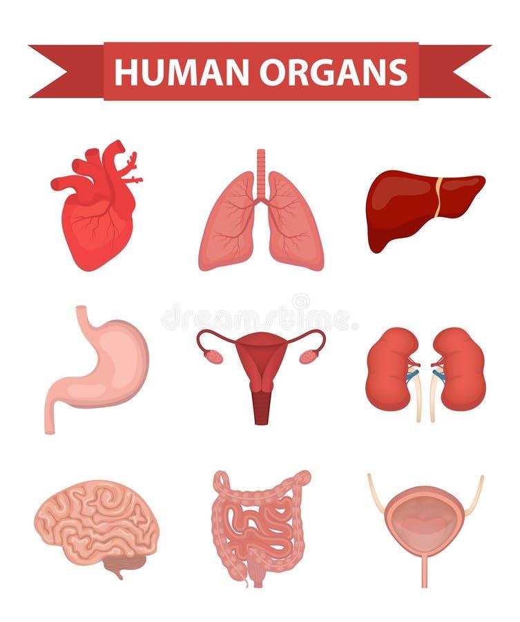 Los órganos internos de los iconos humanos fijaron, estilo plano Colección con el corazón, hígado, pulmones, riñones, estómago, f stock de ilustración