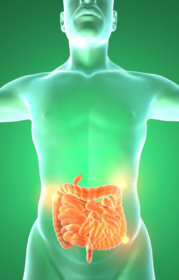Los órganos internos de los hombres, intestinos del sistema digestivo foto de archivo