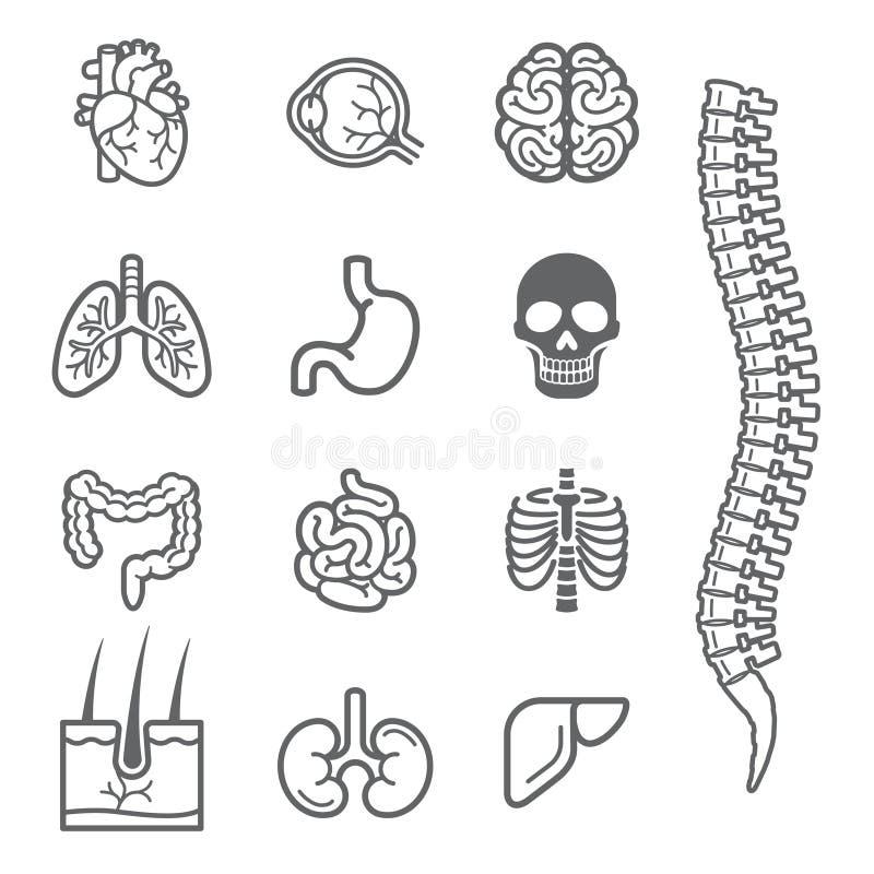 Los órganos internos humanos detallaron los iconos fijados stock de ilustración