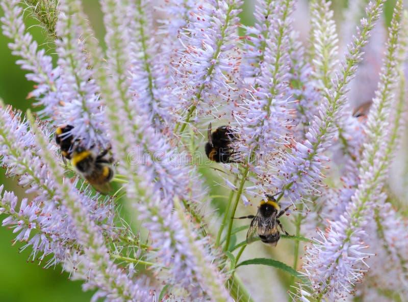 Los abejorros recogen el néctar de una flor fotos de archivo libres de regalías